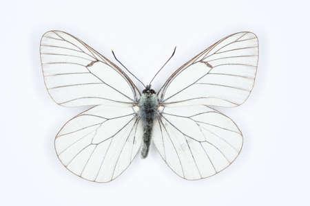 veined: Butterfly Black veined white Aporia crataegi, isolated on white Stock Photo