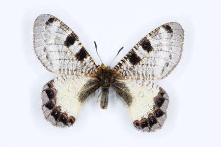 falso: Hombre de Apolo Falso, mariposa apollinus Archon en blanco