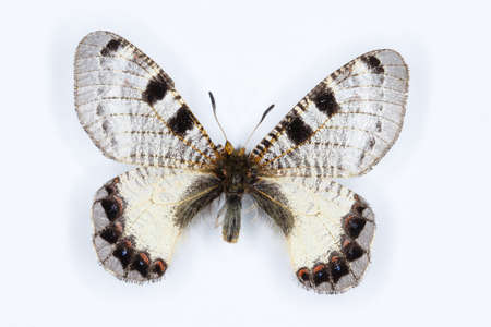 entomology: Male of False apollo, Archon apollinus butterfly on white