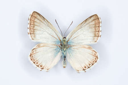 polyommatus: Spanish Chalk-hill Blue, Polyommatus albicans butterfly on white