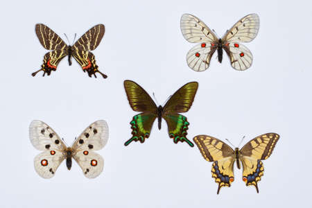 yellow tailed: Collection of swallowtail butterflies isolated on white