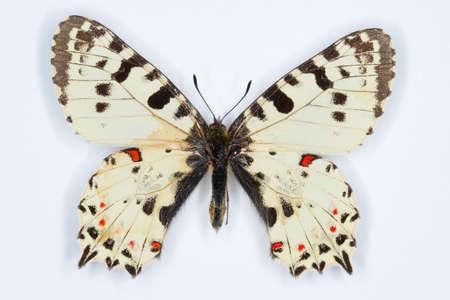 festoon: Rare butterfly, Eastern festoon; Allancastria cerisyi on white