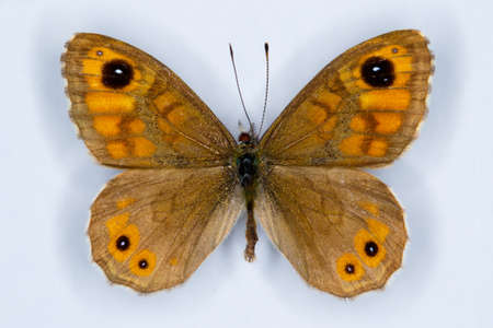 spotty: Wall Brown, Lasiommata megera, spotty butterfly on white