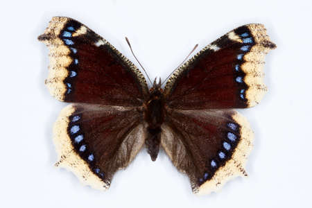 nymphalis: Camberwell Beauty, Nymphalis antiopa butterfly on white