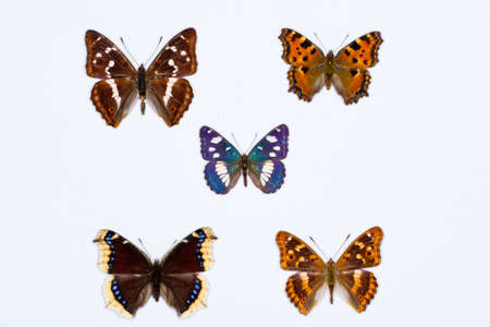 nymphalis: Collection of five brush footed butterflies on white Stock Photo