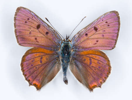 lycaena: Purple-shot copper Lycaena alciphron blue butterfly on white Stock Photo