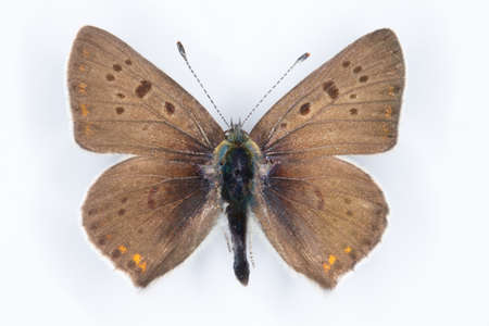 sooty: Sooty Copper Lycaena tityrus  butterfly on white