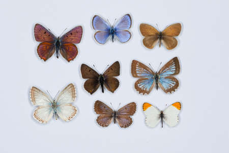 lycaena: Collection of eight small colored butterflies on white