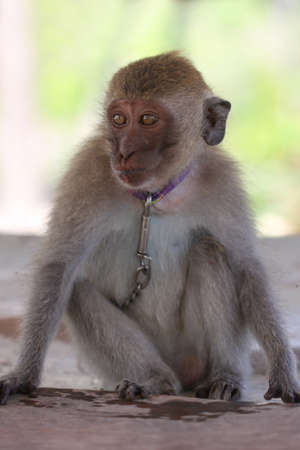 captured: Captured sad young macaque monkey on the chain Stock Photo