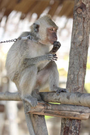 captured: Captured sad  macaque monkey on the chain  siting on the branch Stock Photo