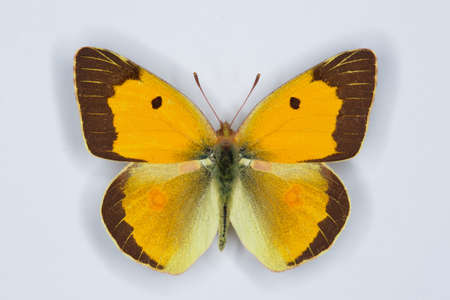 clouded: Male of Clouded yellow, Colias croceus  butterfly on white