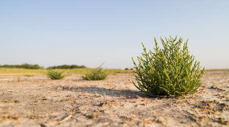 Glasswort, salicornia europaea,  on dried marsh Banque d'images