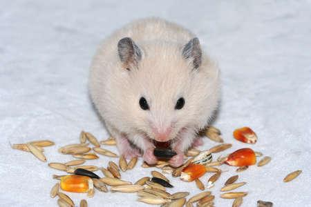 munching: Cute white hamster on white eating seed