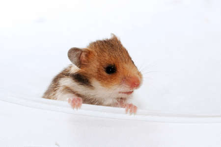 dwarf hamster: Cute baby brown black hamster peep and sniff