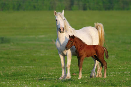 widlife: Two horses, brown foal and white mother on the meadow