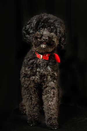 poodle: Black poodle standing on the  black background