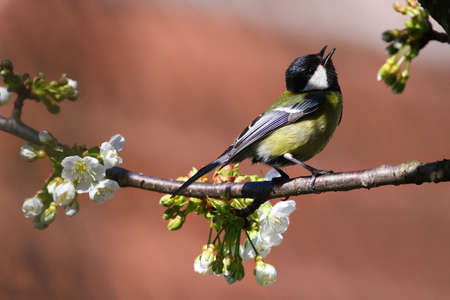 Bird is singing on blossom branch in early spring