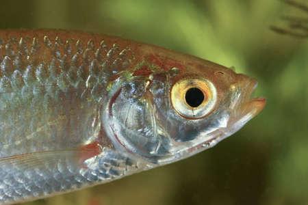 scardinius: Close-up of Common rudd, Scardinius erythropthalmus fresh water fish