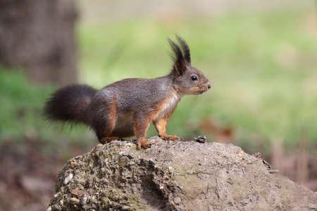 widlife: Cute red squirrel  Sciurus  vulgaris watching