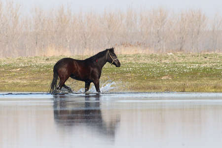 runing: Black horse is  runing through water in early spring