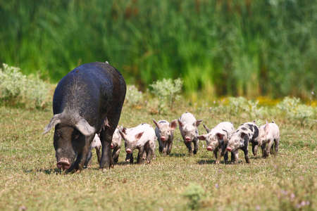 sow: Sow and crowd of little pink baby pigs
