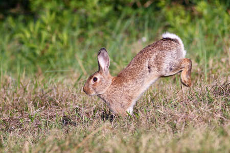 oryctolagus cuniculus: Wild cute rabbit is jumping on meadow