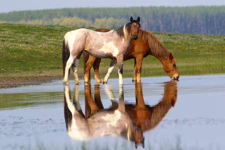 caballo bebe: Two wild beautiful horses drinking water in meadow