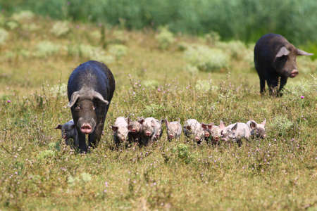 sow: Sow and cute baby pigs on the meadow Stock Photo
