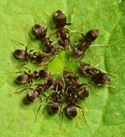 formica: Circle ants group formation is  drinking syrup