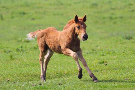 widlife: Cute brown foal  jumping on the meadow.