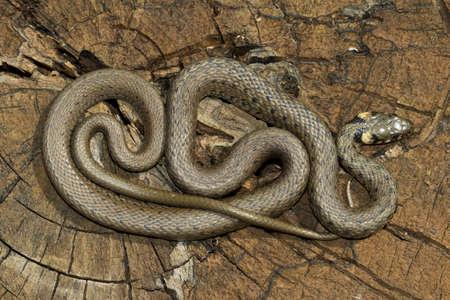 water grass: European non venomous water Grass snake