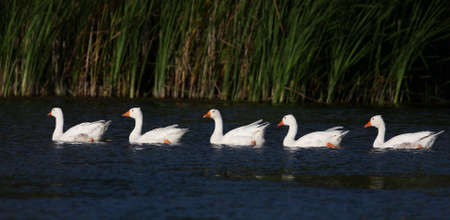 feathe: Five white domestic geese swiiming on pond