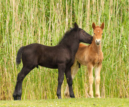 widlife: Two cute brown and black foal  on the meadow. Stock Photo