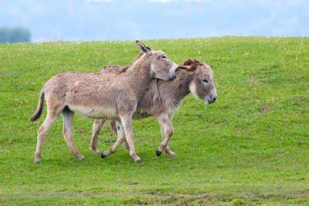 dun: Twin  brown donkeys playing on the meadow
