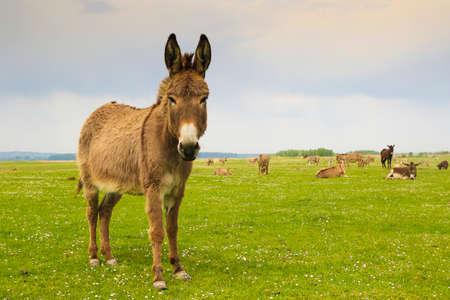 drove: Drove of donkeys restingin the green meadow Stock Photo