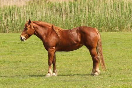 sorrel: Portrait of sorrel horse in meadow