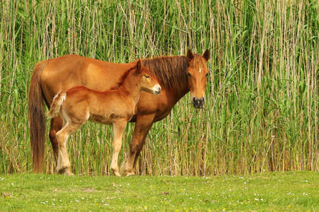 widlife: Two  sorrel horses, foal and  mother on the meadow Stock Photo
