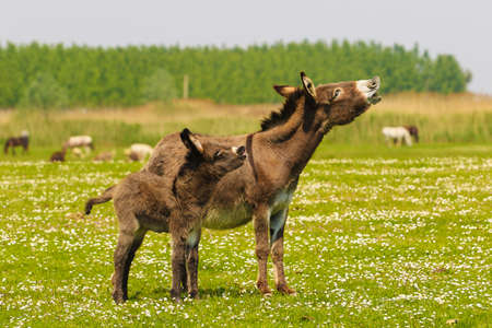 Mother and baby donkeys on the floral meadow