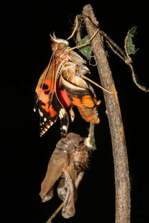 metamorphosis: Metamorphosis of Painted lady  butterfly, Vanessa cardui