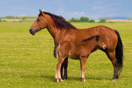 widlife: Sorrel horse and foal on the floral meadow