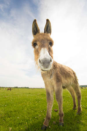 funny donkey: Portrait of funny donkey on the meadow
