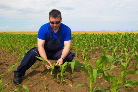 dirtied: Farmer Inspecting Corn field  on the cloudy day Stock Photo