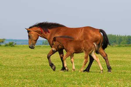 trot: Sorrel horse and foal trot on the floral meadow