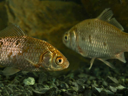 carassius gibelio: Two Prussian carp, Carassius gibelio swimming in the tank