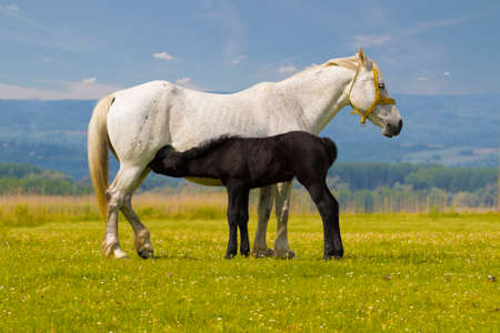widlife: White Mother horse nurse black foal on the floral meadow