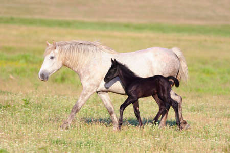 Two horses, black foal and white mother on the meadow Stock Photo