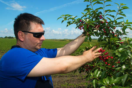 agronomist: Farmer or agronomist inspecting fruit  in cherry orchard