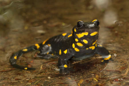 Black yellow spotted fire salamander on the water Stock Photo