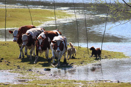 a bathing place: Two  sheepdog and cows run on watering place