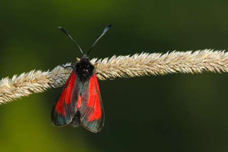 zygaena: Transparent Burnet moth , Zygaena purpuralis on the green background